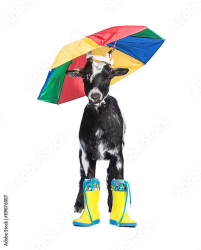 Funny dwarf goat with rubber boots and umbrella