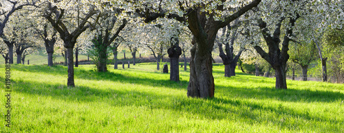Fotografija  Orchard with Cherry Trees in Full Bloom
