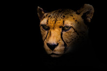 Portrait Of A Cheetah Isolated...