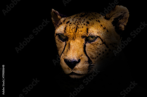 Foto Portrait of a cheetah isolated on black