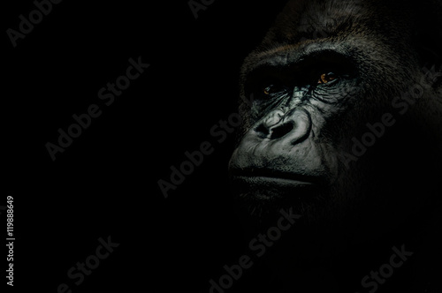 Poster de jardin Singe Portrait of a Gorilla isolated on black