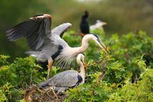 Great Blue Herons Exchanging N...
