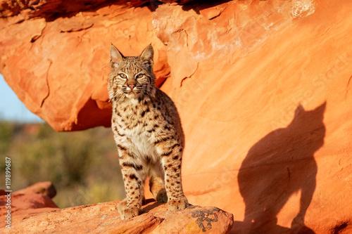 Bobcat standing on red rocks Wallpaper Mural