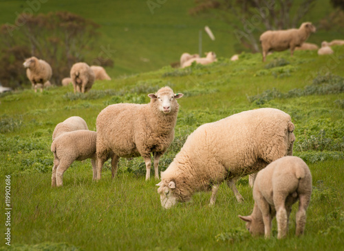 Tuinposter Schapen Australian Agriculture Landscape Group of Sheep in Paddock
