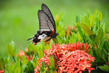 Butterfly On Flower(Great Morm...