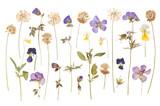 Fototapeta Kwiaty - Dry pressed wild flowers isolated on white background