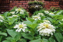 White Zinnia   On  Brick Wall ...