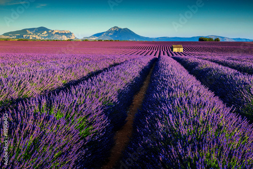Amazing lavender fields in Provence,Valensole,France,Europe