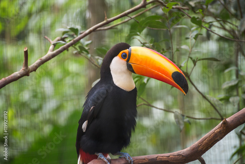 In de dag Toekan Toucan bird in a tree branch at the forest