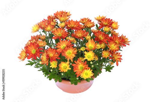 Coupe de chrysanthème Fototapete