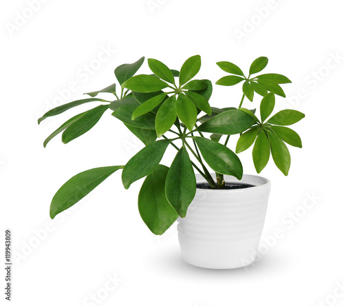 Foto op Canvas Planten Houseplant - young Schefflera a potted plant isolated over white
