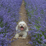 a small dog in lavender flower field   - 119951072