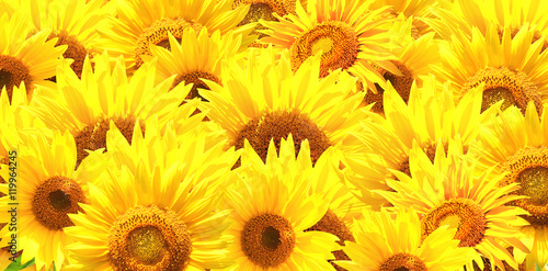 Leinwand Poster Horizontal background with bright yellow sunflowers