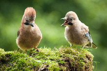 Jay Bird Mother With Young Chick