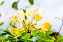 Lonicera Periclymenum Or Honeysyckle, Also Woodbine, Flowers In Autumn.