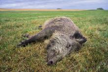 Schlafendes Wildschwein Auf Der Wiese - Sleeping Wild Boar In The Meadow
