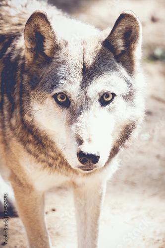 Fotografija  Portrait de loup