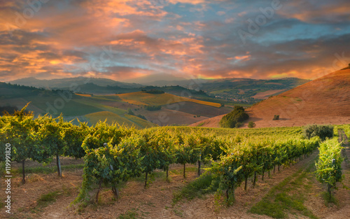 Photo sur Aluminium Vignoble Rows of vineyard among hills on sunset