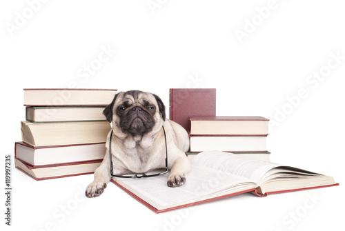Poster Dog lieve kleine hond, mopshond, omringd door boeken kijkt verstoord op uit boek met leesbril om nek, geisoleerd op witte achtergrond
