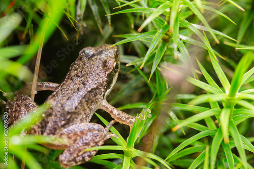 Tuinposter Kikker Small forest frog in grass