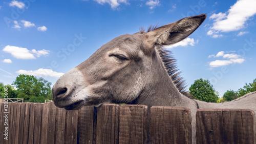 Foto auf Leinwand Esel Esel am Zaun im Streichelzoo
