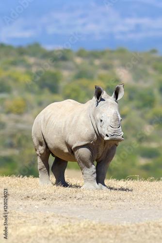 In de dag Neushoorn African white rhino