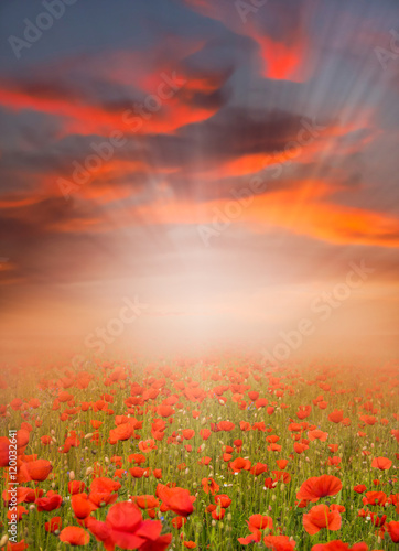 Fototapeta Red poppy field at sunset obraz na płótnie