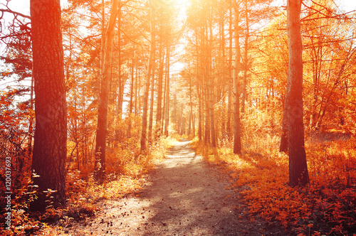 Door stickers Brick Forest sunny autumn landscape -row of autumn yellowed trees under autumn sunlight.