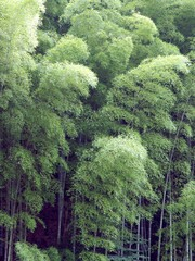 Panel Szklany Podświetlane Bambus 朝倉の竹林