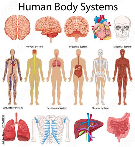 Obraz na plátně Diagram showing human body systems