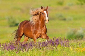 Fototapeta Popularne Beautiful red horse with long mane run at summer day in flowers