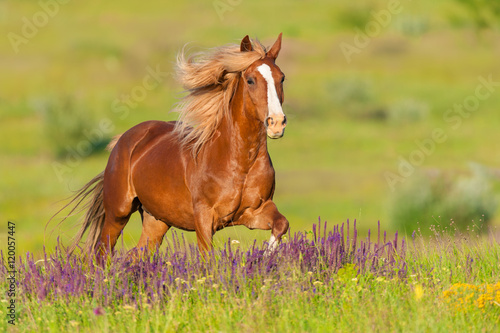 Foto op Canvas Paarden Beautiful red horse with long mane run at summer day in flowers