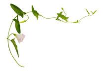 Bindweed Flower And Leaves