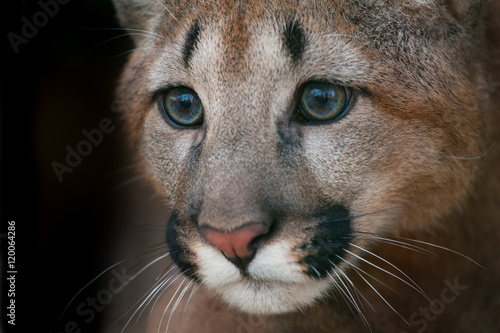 Puma portrait. Close up cougar with beautiful eyes on black background