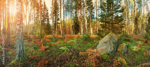 birch and fir forest panorama in autumn