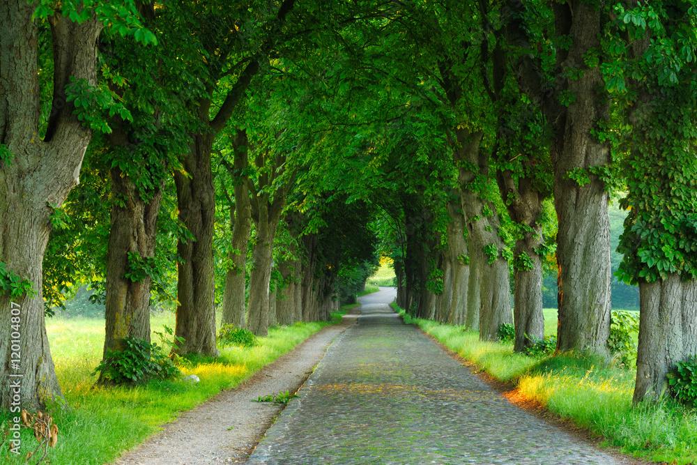Fototapety, obrazy: Cobblestone Road, Avenue of Chestnut Trees illuminated by the Rising Sun