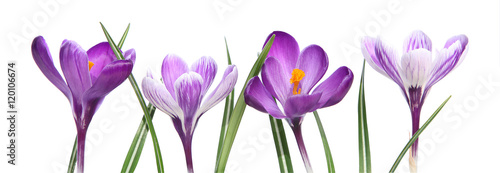 Photo sur Aluminium Crocus Crocus violets