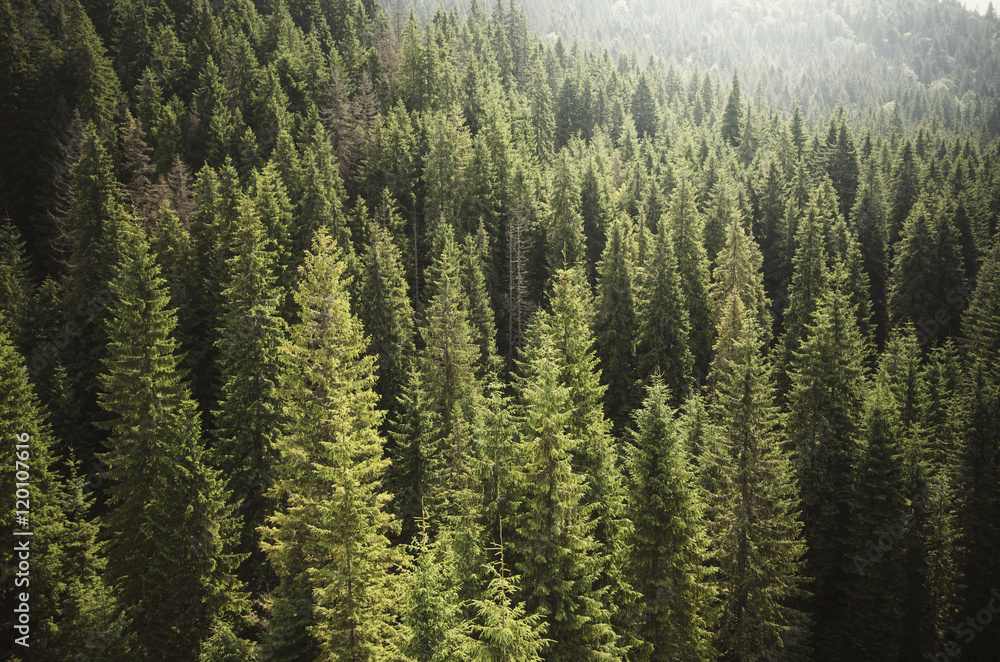 Fototapety, obrazy: pine tree forest from above