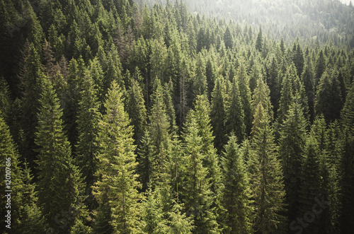 Fototapeten Wald pine tree forest from above