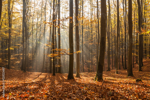 Fototapeten Wald Red and colorful autumn colors in the beech forest