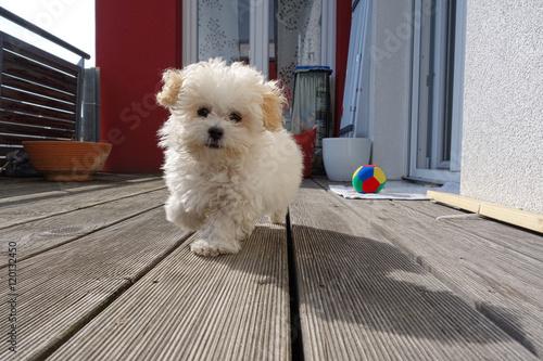 kleiner malteser hund auf einem hund l uft entgegen kaufen sie dieses foto und finden sie. Black Bedroom Furniture Sets. Home Design Ideas