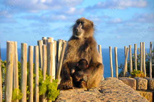 Fotografering  Chacma Baboon holds it's baby at Cape of Good Hope, South Africa