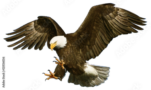 Fotografie, Obraz Bald eagle swoop attack hand draw and paint on white background vector illustration