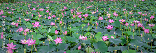 Garden Poster Lotus flower Lotus blooming season in field with hundreds blooming lotus pink petals radiating fragrance, these flowers grow in wetlands, ponds as decorate temple just as nutritious food in region rural Vietnam