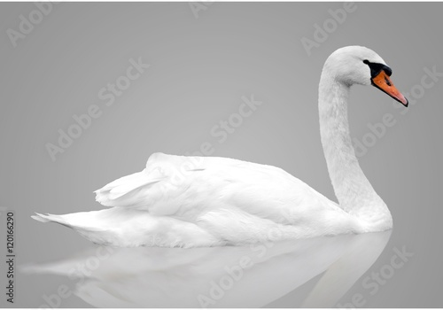 White swan floats in water. bird isolated over gray background
