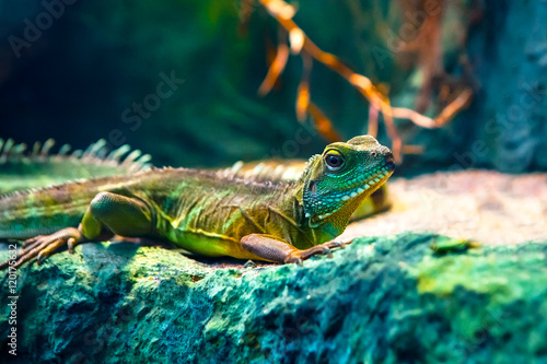 Poster Chameleon Colourful Asian water dragon (Physignathus cocincinus) - smok wodny