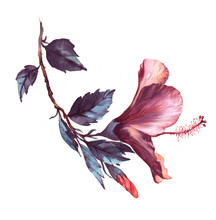 Hand-drawn Watercolor Floral Illustration Of The Tender White With Pink Hibiscus Flower. Natural Drawing Isolated On The White Background. Romantic Blossom