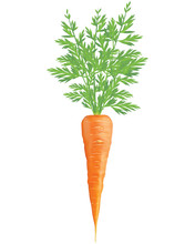 Carrot Isolated On White. Realistic Vector 3D Illustration