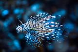 Fototapeta Fototapety do akwarium - Red lionfish (Pterois Volitans)