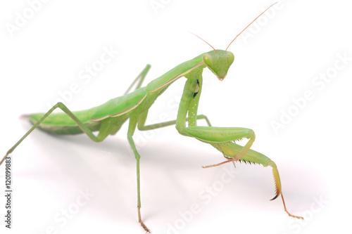 Fotografie, Obraz  mantis isolated on white background close-up macro